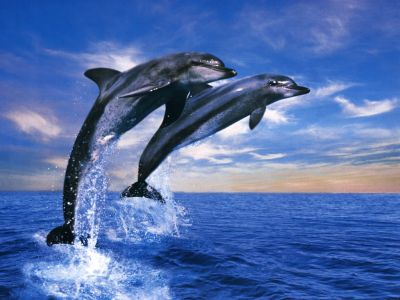 http://tapetynaplochu.xf.cz/albums/userpics/10001/wallpapers_Wallpaper_-_Animals_Dolphin_Duet.jpg
